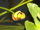 Nuphar polysepalum