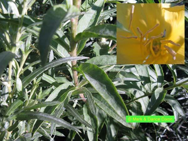 Oenothera villosa ssp. strigosa