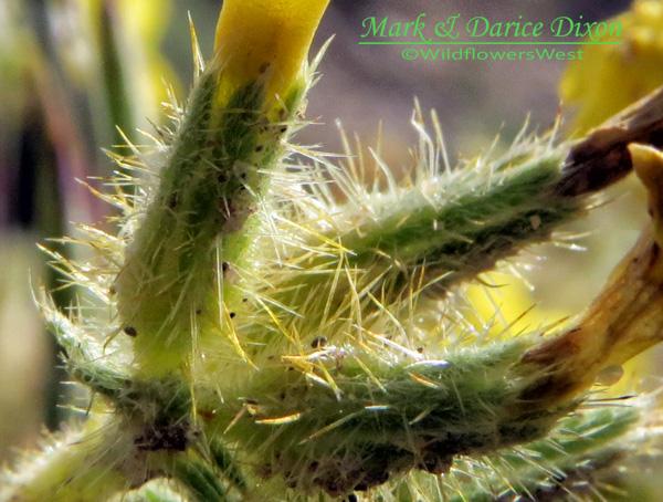 Oreocarya flava bract