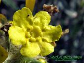 Oreocarya flava