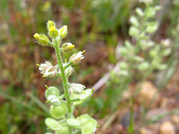 Pale Madwort, flower view