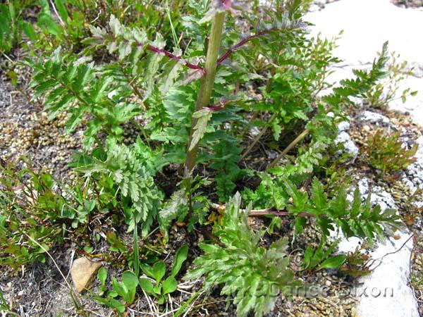 Pedicularis bracteosa