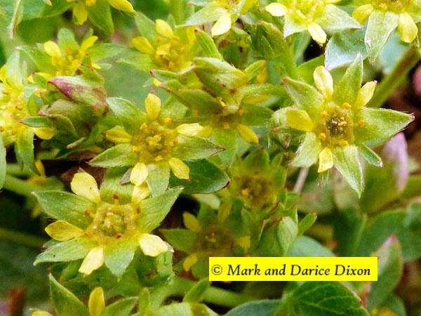 Sibbaldia (Sibbaldia procumbens), flower view