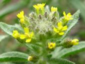 Alyssum parviflorum