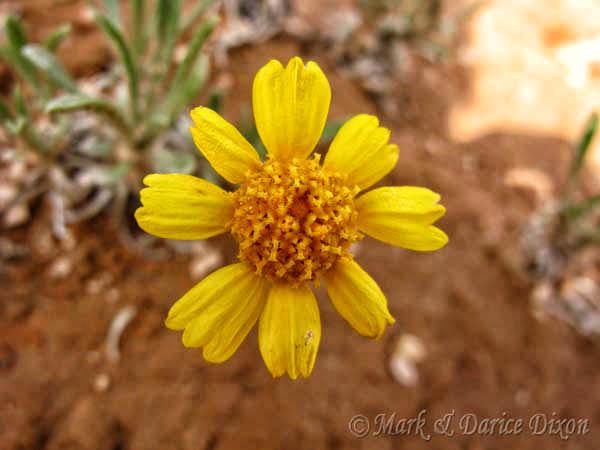 Stemless Four-Nerve Daisy (Tetraneuris acaulis var. acaulis), flower view