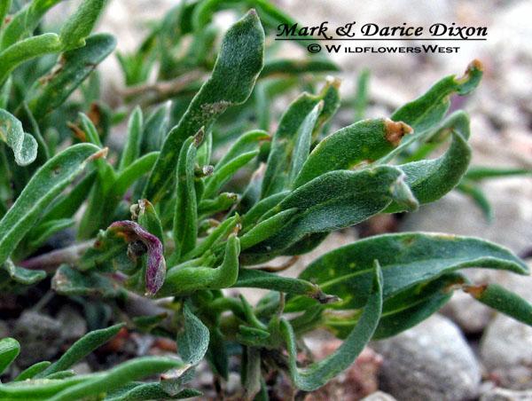 Lavender-leaf primrose (Calylophus lavandulifolius),  foliage detail