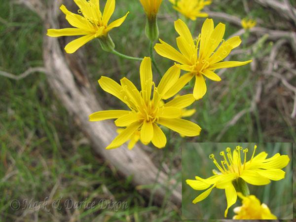 Tapertip Hawksbeard, flower view