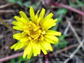 Taraxacum eriophorum