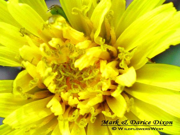 Woolbearing Dandelion, disc macro