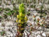 Orthocarpus luteus