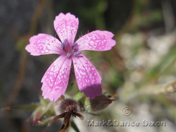 Dianthus armeria-7326'