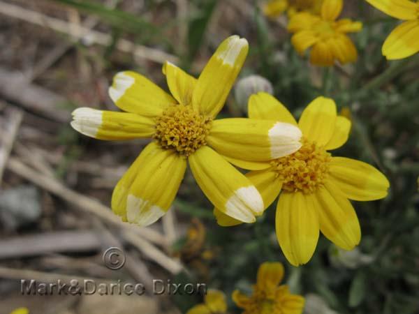 Eriophyllum lanatum-8817'