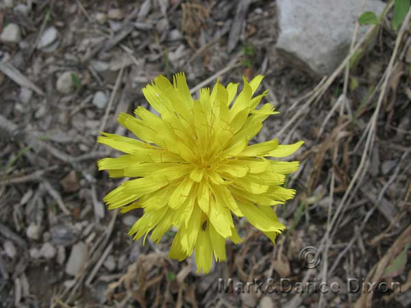 Mountain Dandelion-8860'