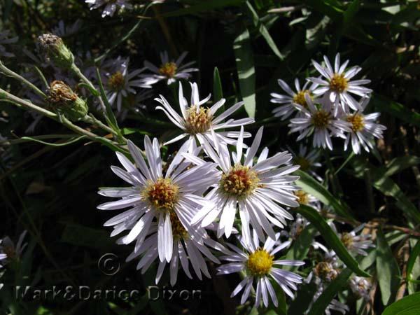 White Asteraceae-7461'