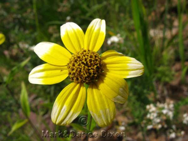 White Tip Asteraceae-8030'