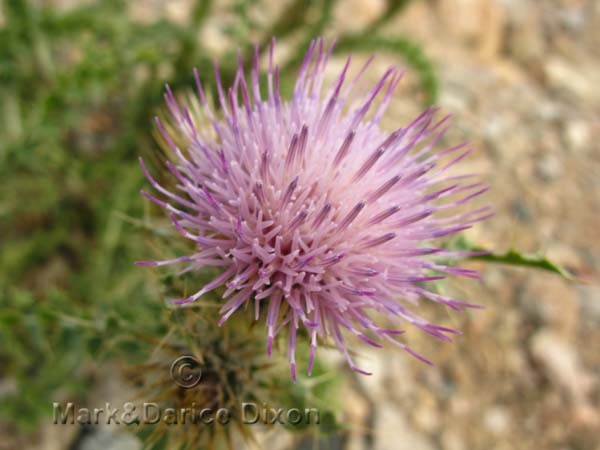 Pink Thistle-10,080'