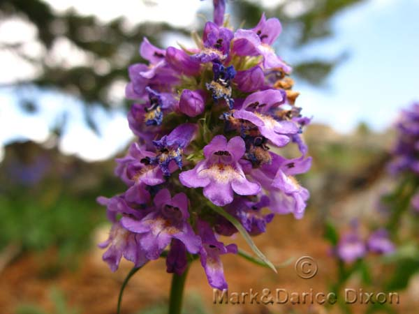 Tiny Lavender Penstemon-10,045'