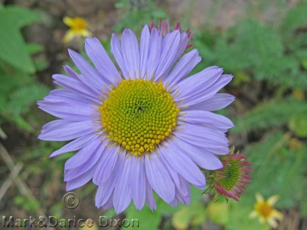 Blue Asteraceae-8860'