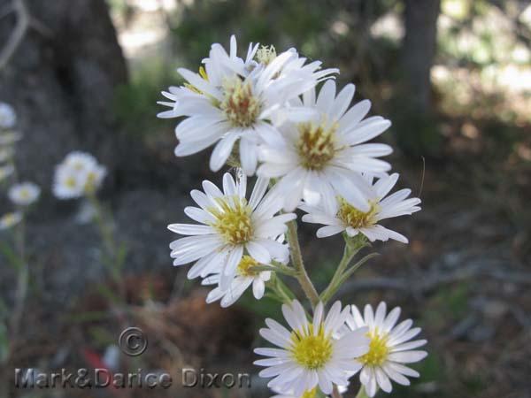 White Aster-7409'