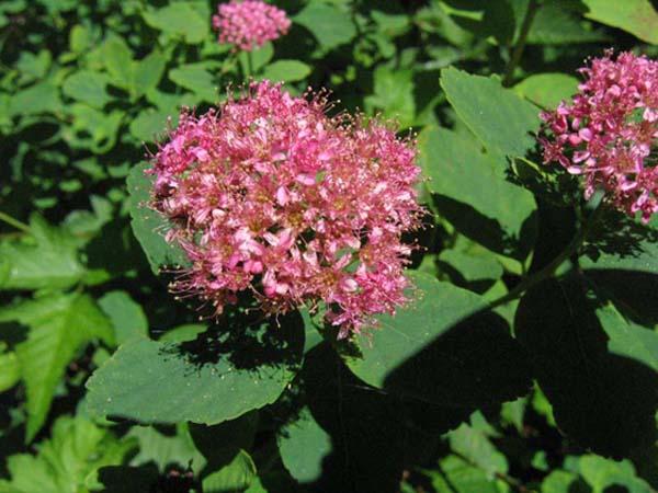 Rosy Spiraea, flower