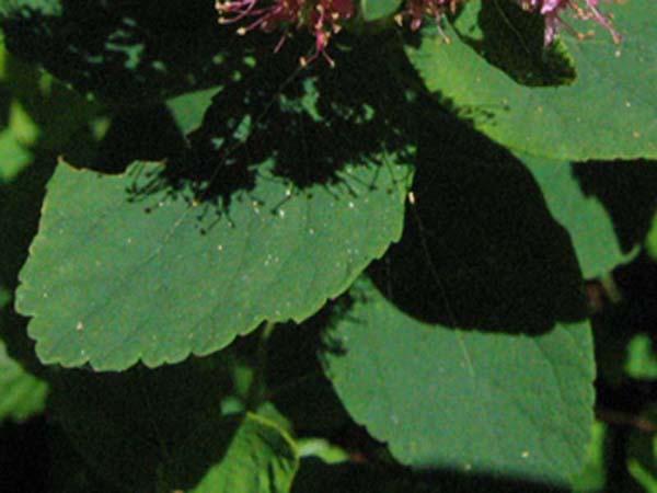 Rosy Spiraea, foliage detail