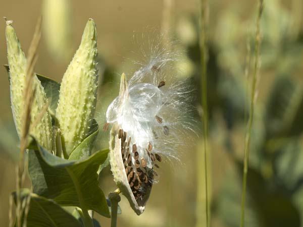 Showy Milkweed, seed pod view
