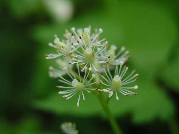 Bugbane (Actaea rubra), flower view
