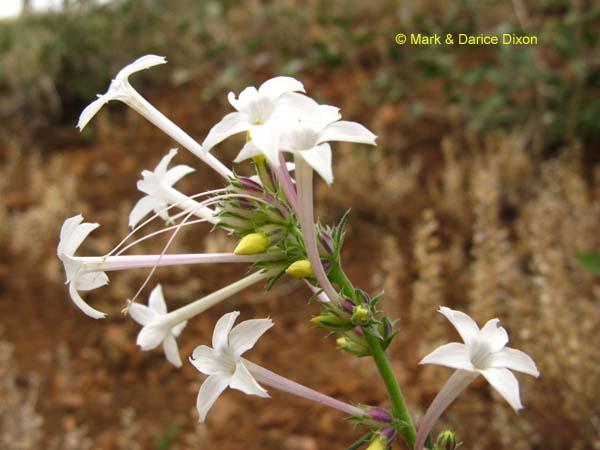 Ipomopsis aggregata ssp. candida