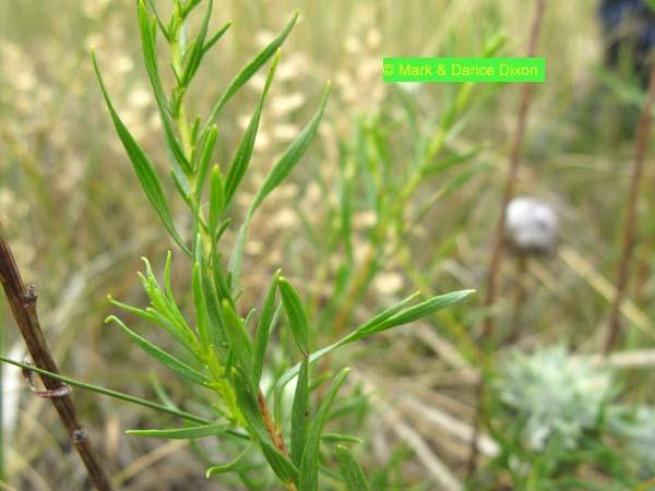 Wild Tarragon (Artemisia dracunculus), foliage detail