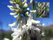 Astragalus bisulcatus, white