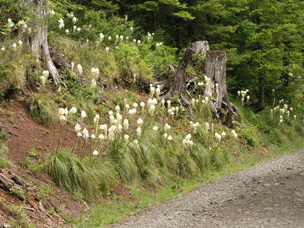 Beargrass (Xerophyllum tenax), foliage detail