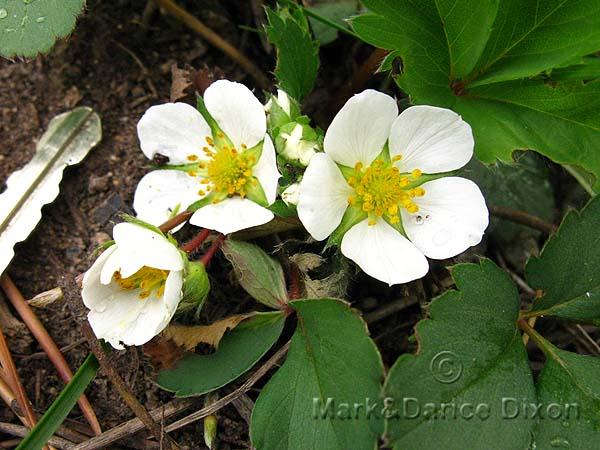 Fragaria vesca ssp. bracteata