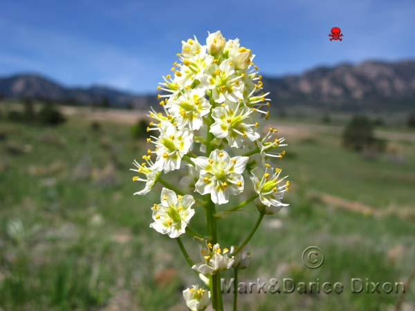 Meadow Death Camas (Zigadenus venenosus), flower view