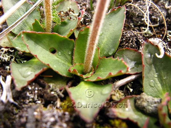 Snowball saxifrage, foliage detail