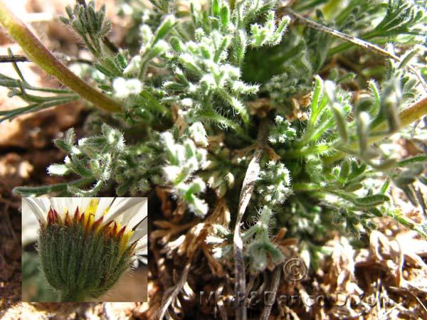 Townsendia, family Asteraceae, foliage detail