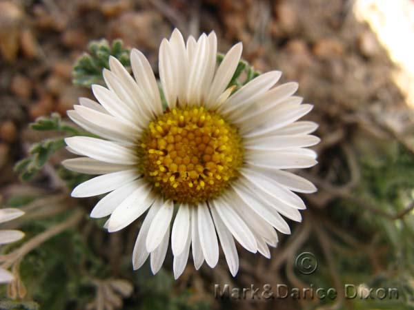 Townsendia Unknown, flower view
