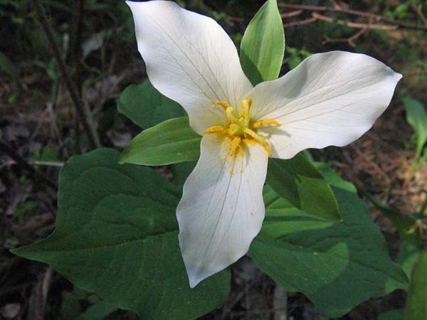 Western Trillium (Trillium ovatum), flower view
