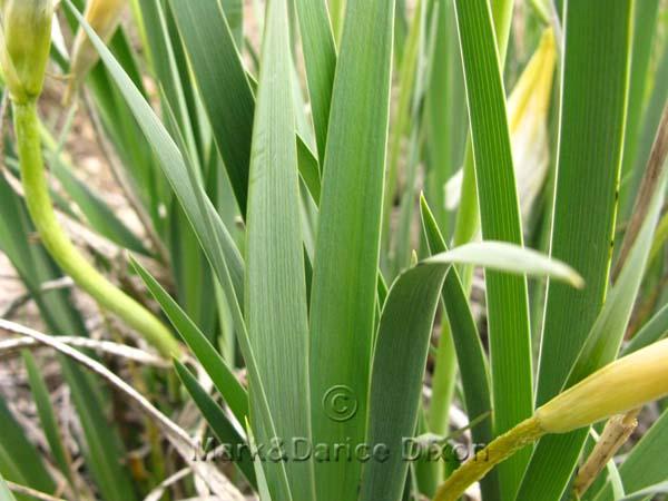 Wild White Iris (Iris missouriensis), foliage detail