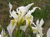 Iris setosa alba