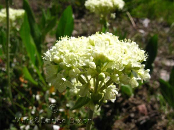 Eriogonum var. subalpinum