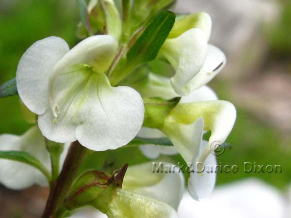 Pedicularis racemosa alba