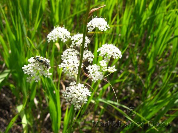 Perideridia gairdneri ssp borealis