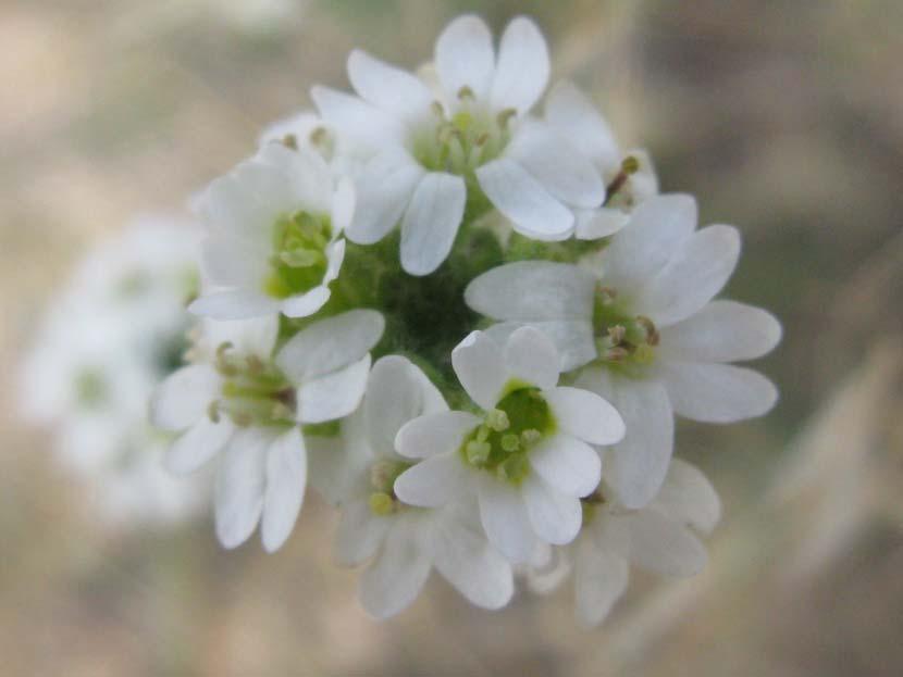 Hoary Alyssum (Berteroa incana), flower view
