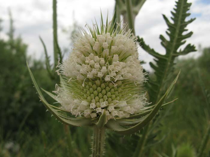 Common Teasel (Dipsacus sylvestris), flower view