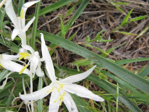 Star Lily (Leucocrinum montanum), foliage detail