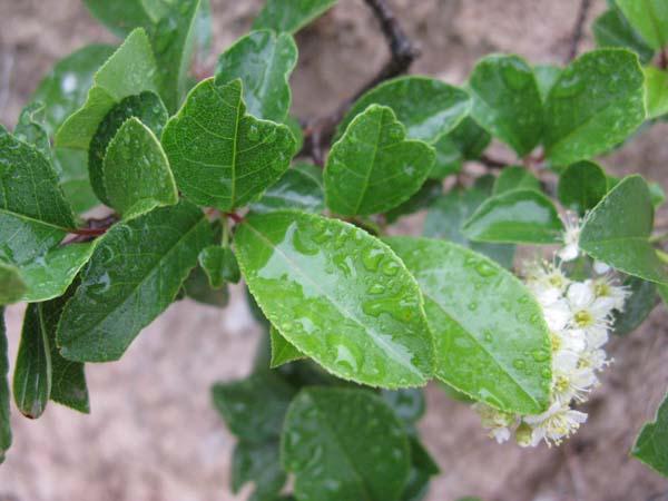 Western Chokecherry (Prunus virginiana), foliage detail