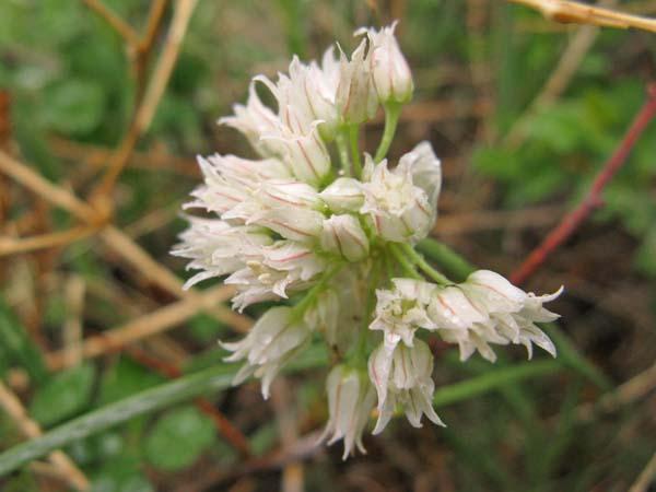 Wild Onion (Allium geyeri), flower view