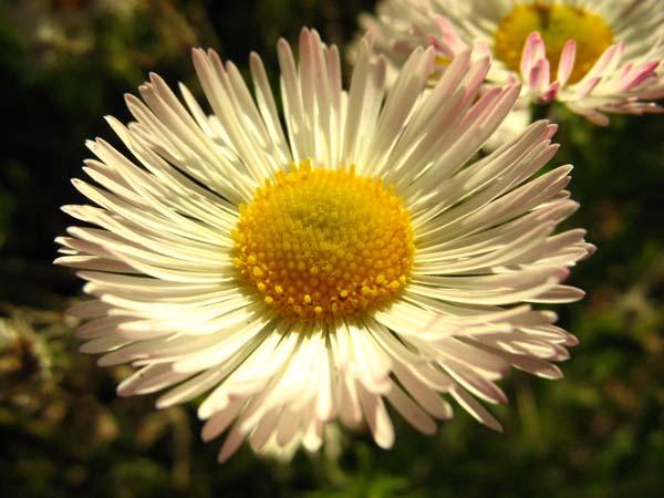 Spreading Fleabane (Erigeron divergens), flower view