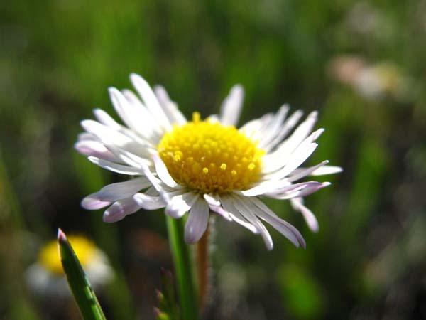Trailing Fleabane (Erigeron flagellaris), flower view