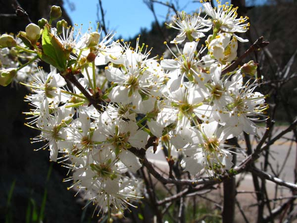 Western Chokecherry (Prunus virginiana), flower view